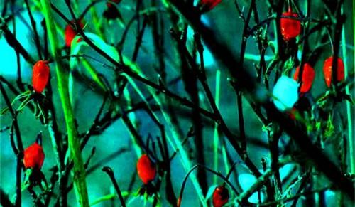 Чтобы венки из лета сплести.  Они созревали плодами в крови.  Весна им давала право цвести.
